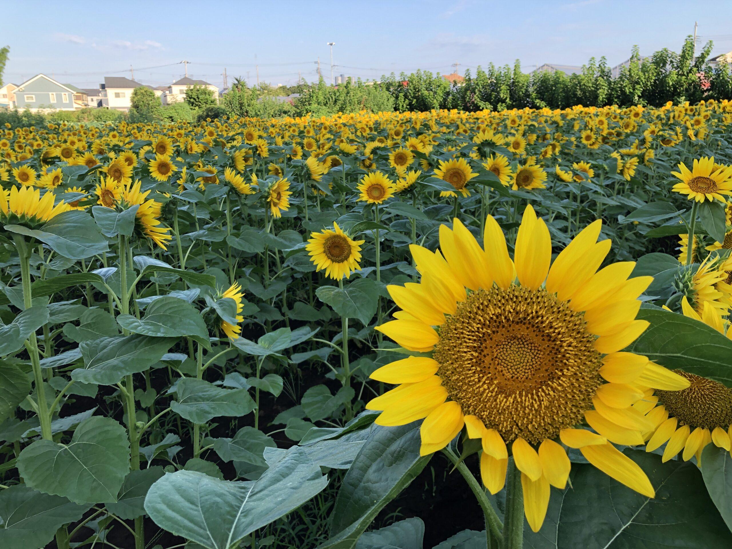 町田のひまわり畑